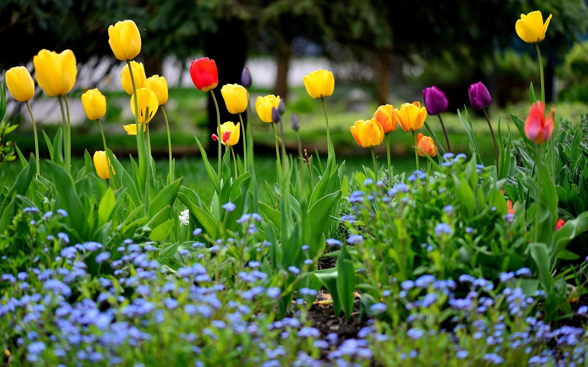 Fondos De Pantalla Hd Flores: Fondos De Pantalla Jardín De Flores, Primavera, Tulipanes