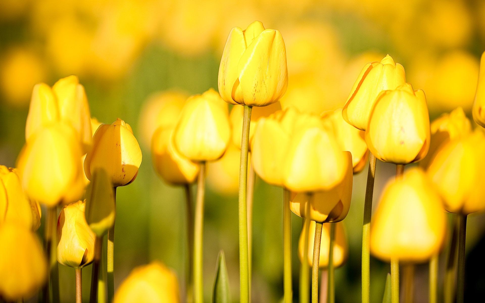 Fondos De Pantalla Flores De Jardin Tulipanes Amarillos 1920x1200