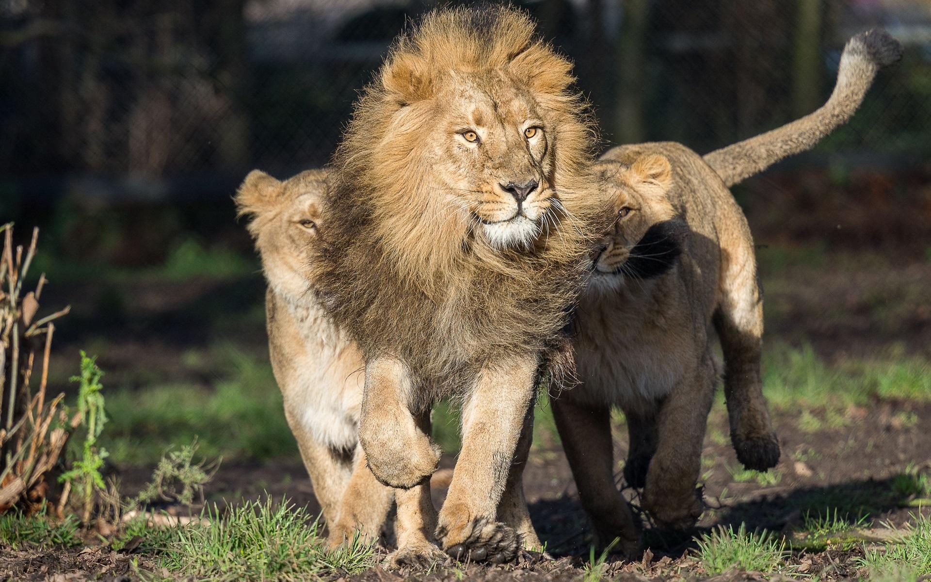 Картинки про льва прикольные