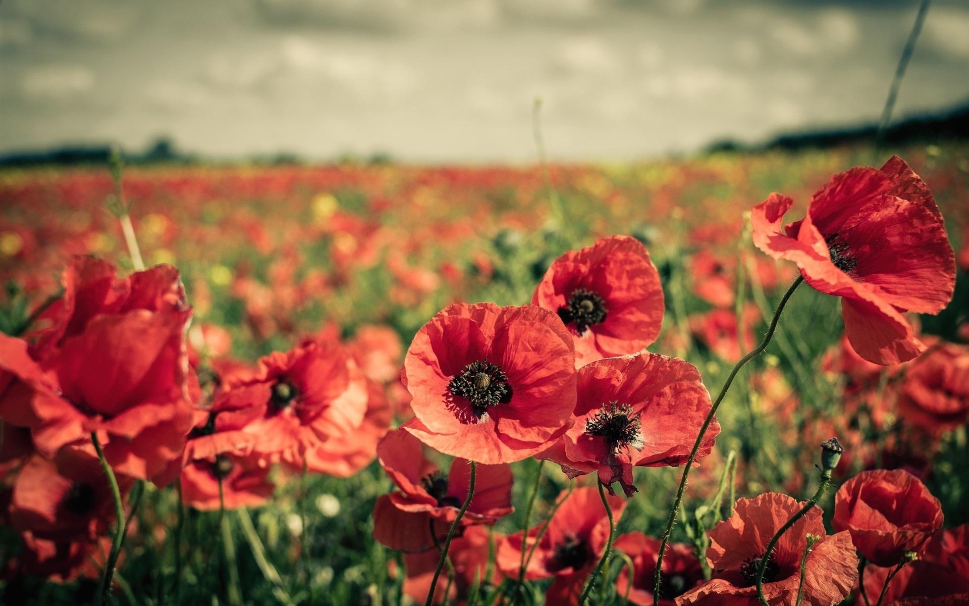 Wallpaper Red Flowers Fields Poppy 1920x1200 Hd Picture Image