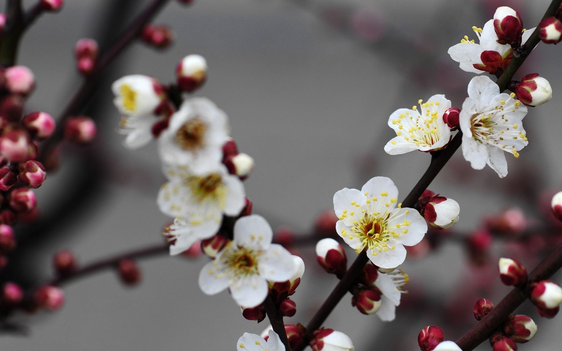 Wallpaper Beautiful White Plum Flowers Bloom 1920x1200 Hd Picture Image