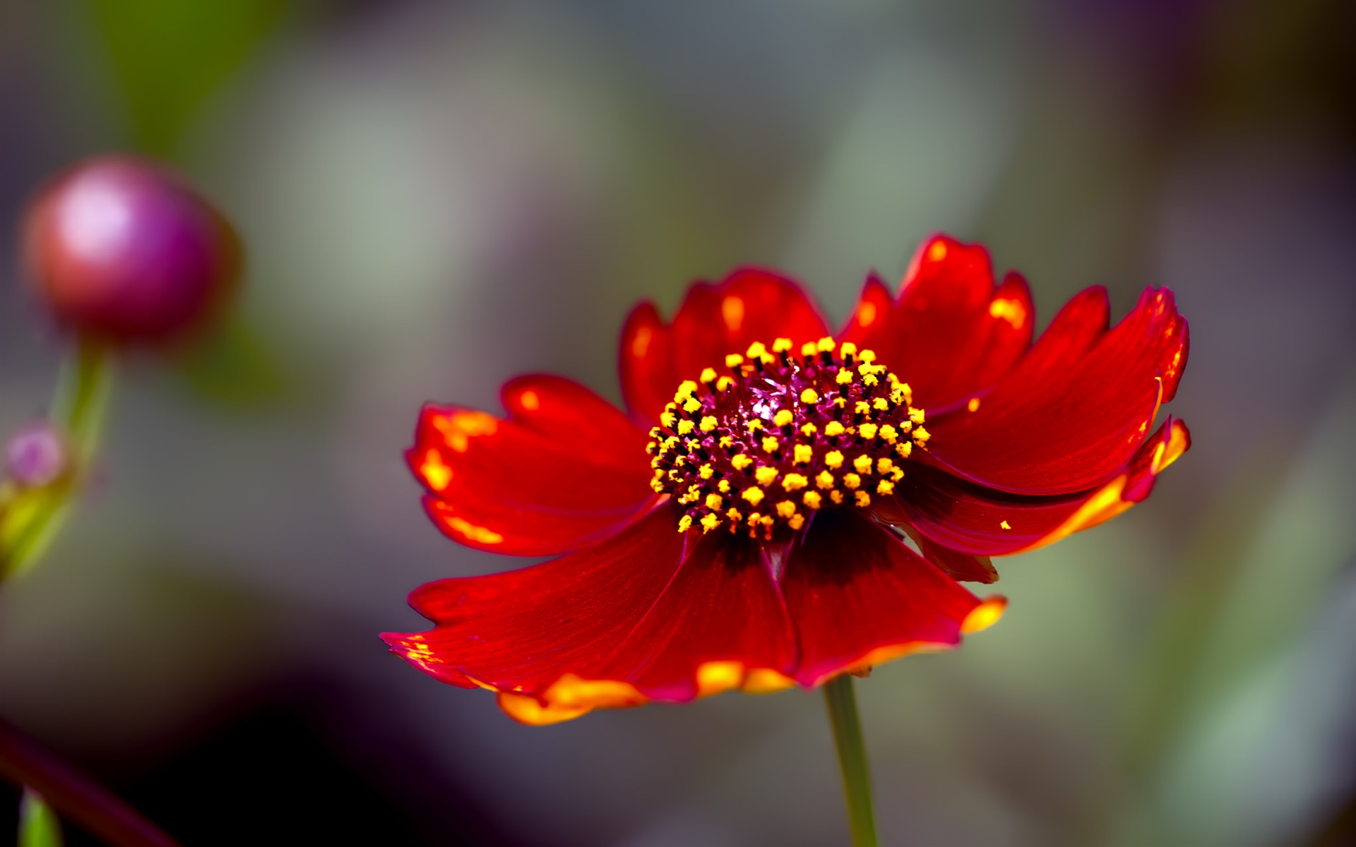 Wallpaper red flower petals close up stamens 1920x1200 hd picture download this wallpaper mightylinksfo