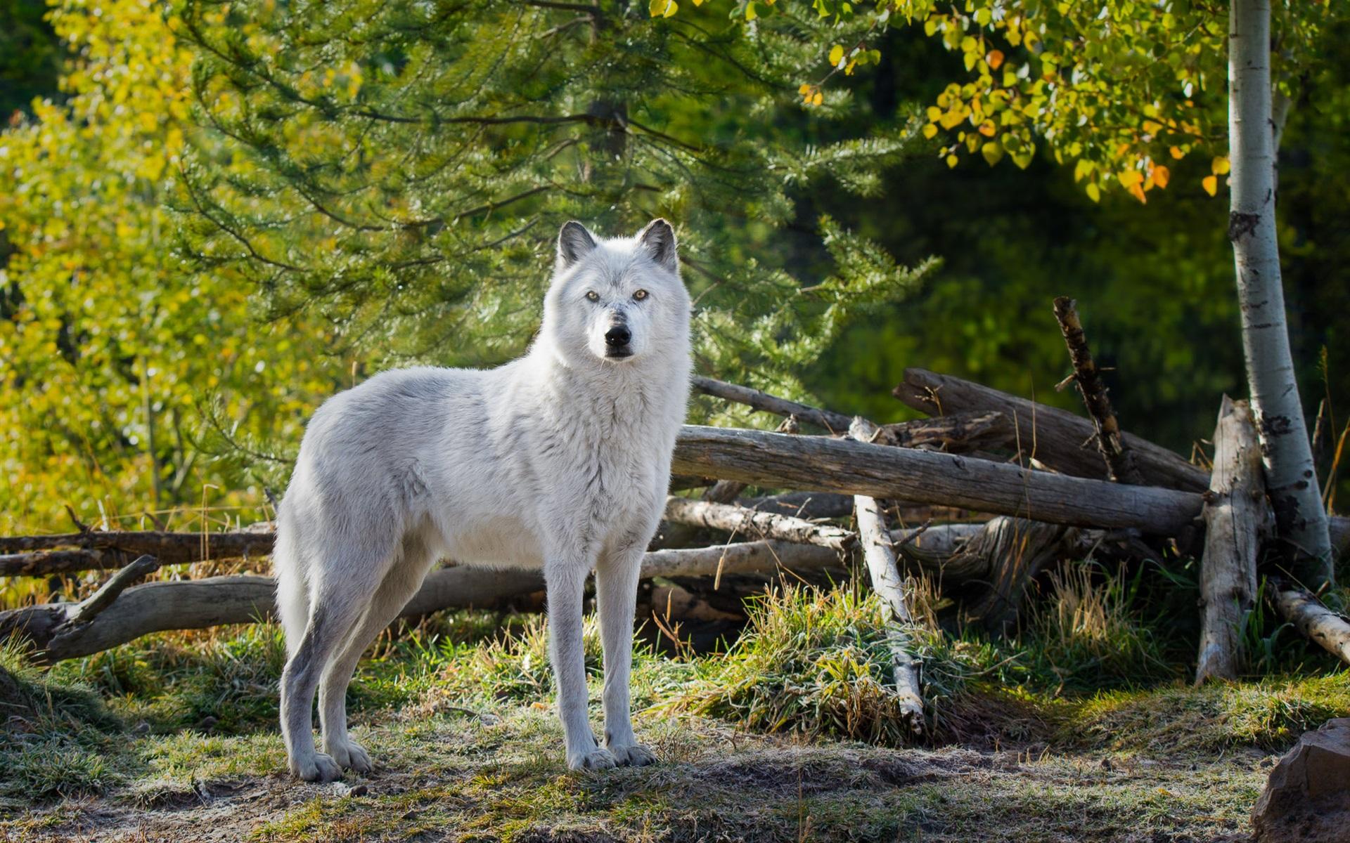 картинки про белый волк волк оборотень