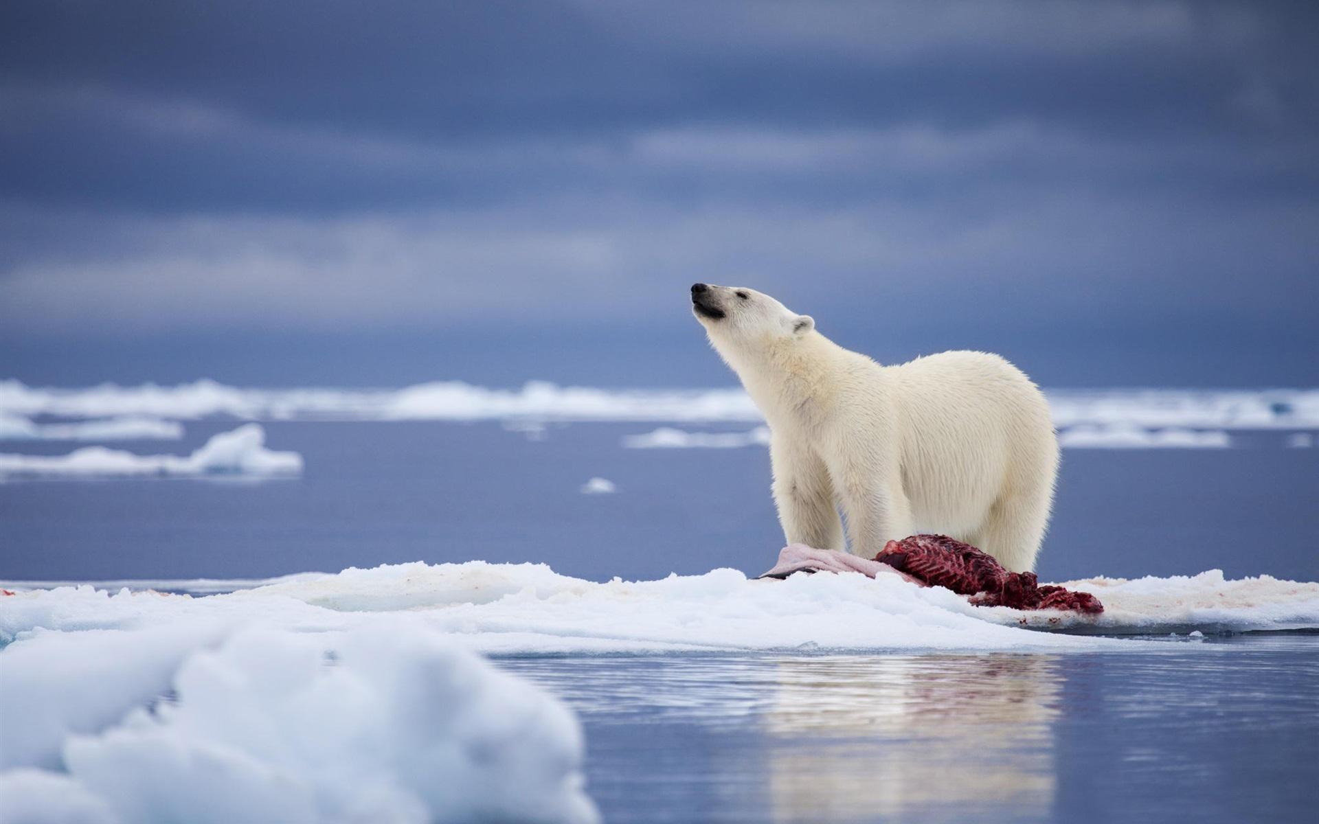 首页动物与鸟熊北极熊,食物,雪,海壁纸/1920x1200壁纸下载c长颈鹿3Dt恤美国代购图片