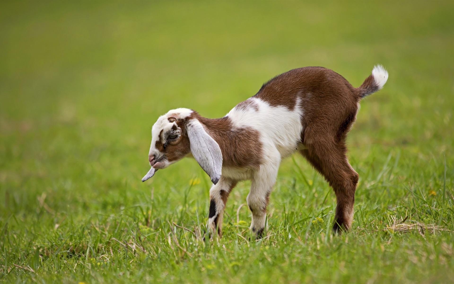 природа животные козы трава забор без смс