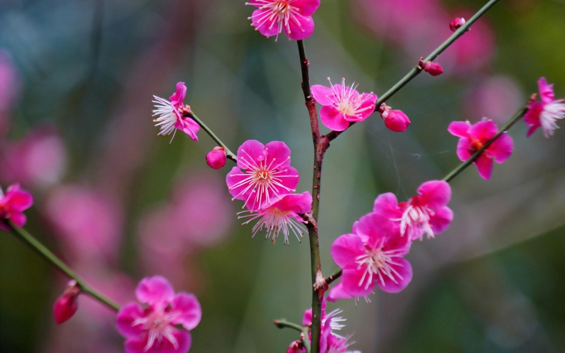 Fondos De Pantalla De Flores: Fondos De Pantalla Flores Japonesas Del Albaricoque Rosado