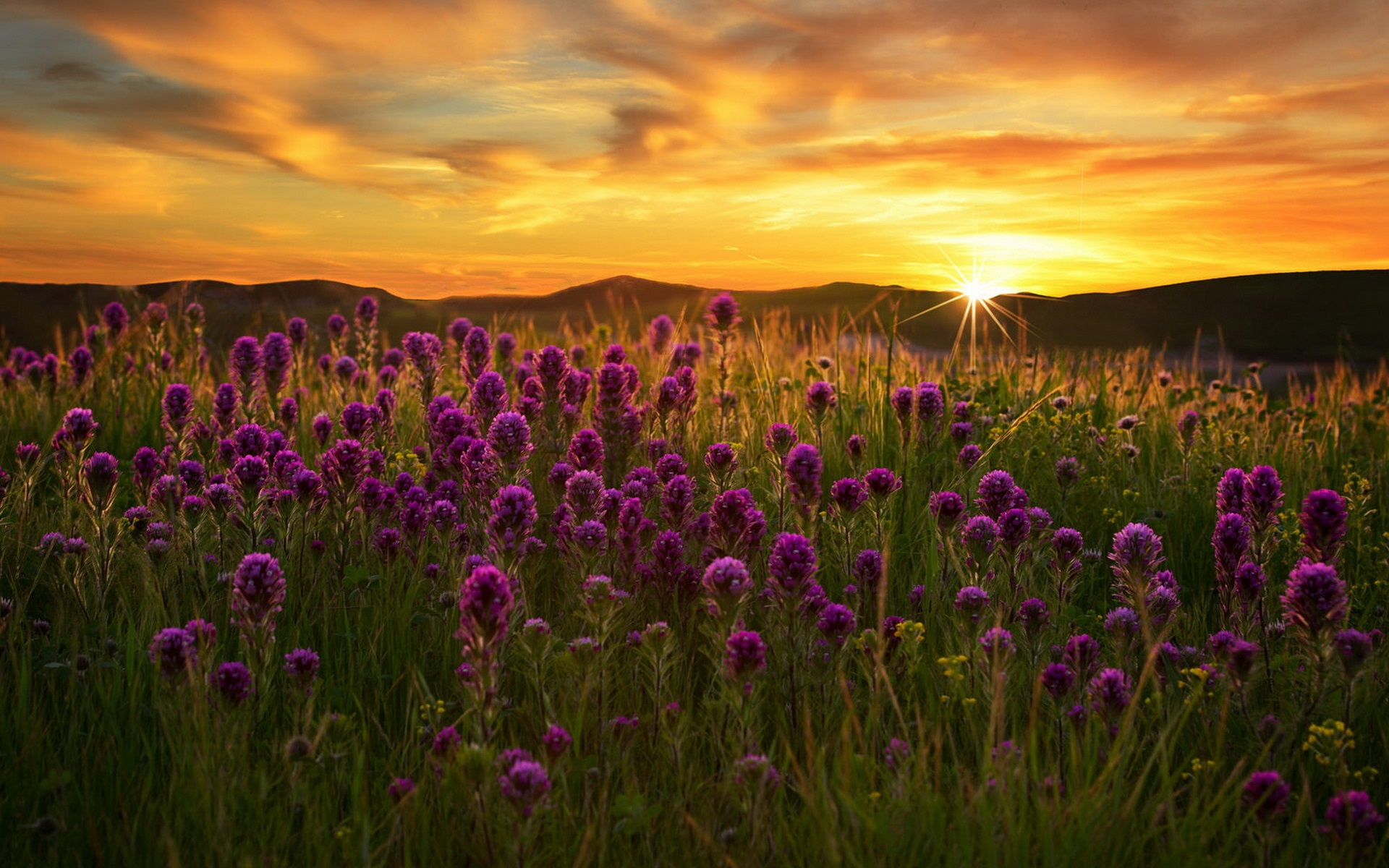 Wallpaper Purple Flowers Field Grass Sunset 1920x1200 Hd Picture Image