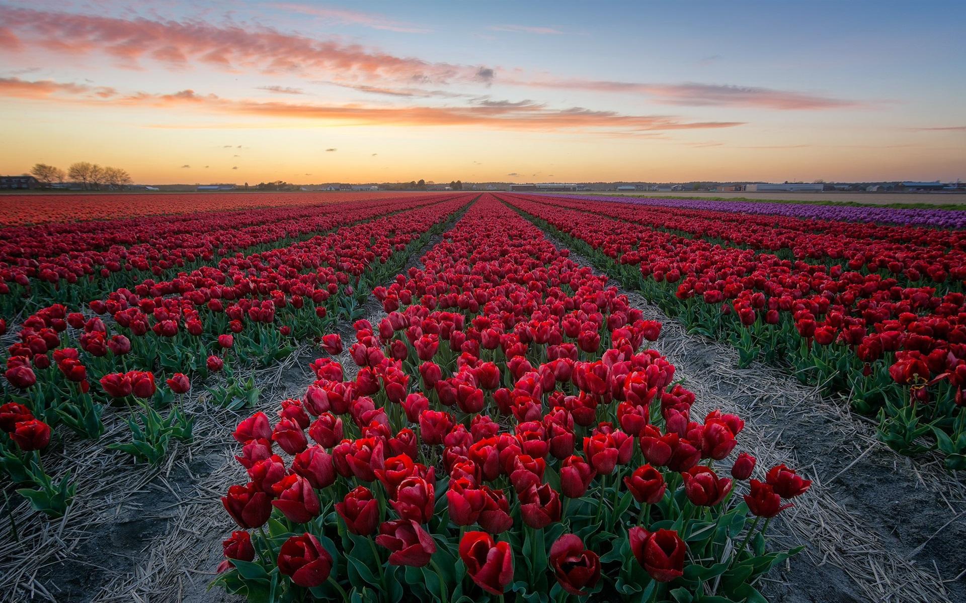 радость поле из красных роз картинки кем