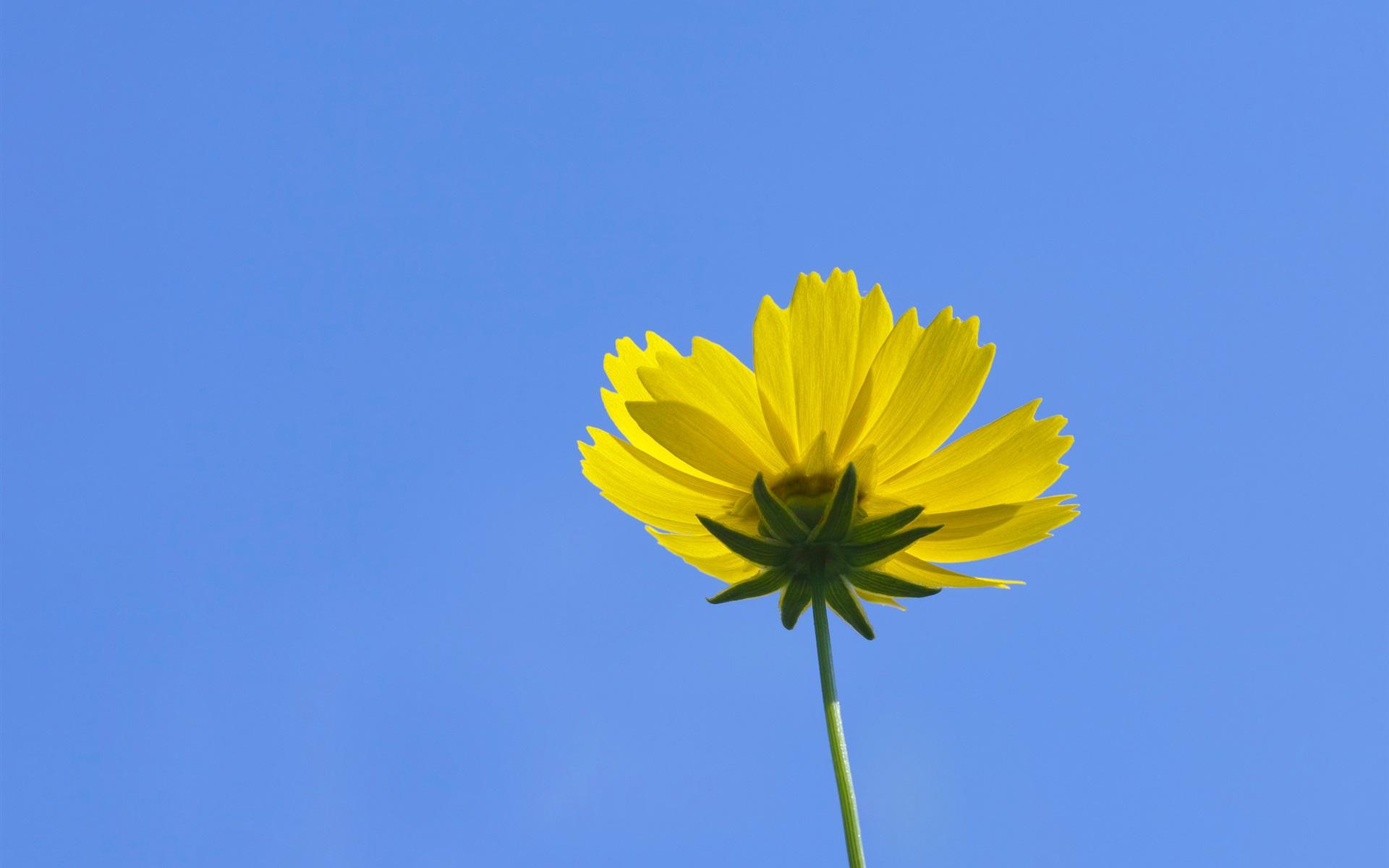 Fondos De Pantalla Amarillo Kosmeya Flor, Cielo Azul