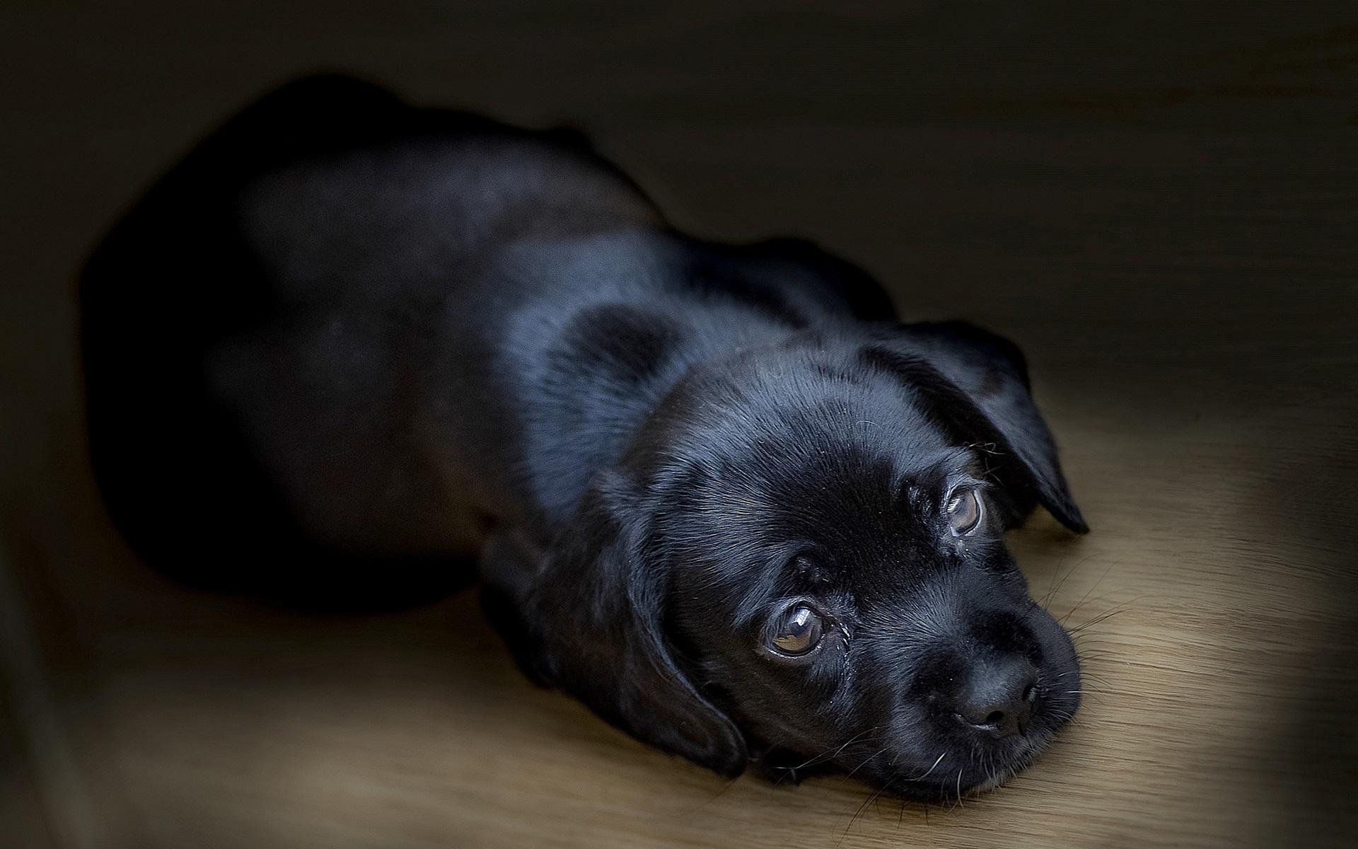Papéis de Parede Sono cachorro preto 1920x1200 HD imagem 334ecdda89