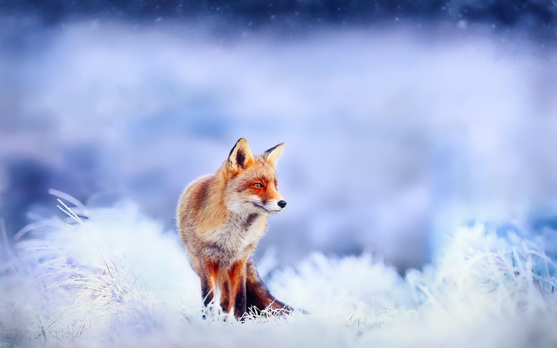 лиса природа животное снег зима скачать
