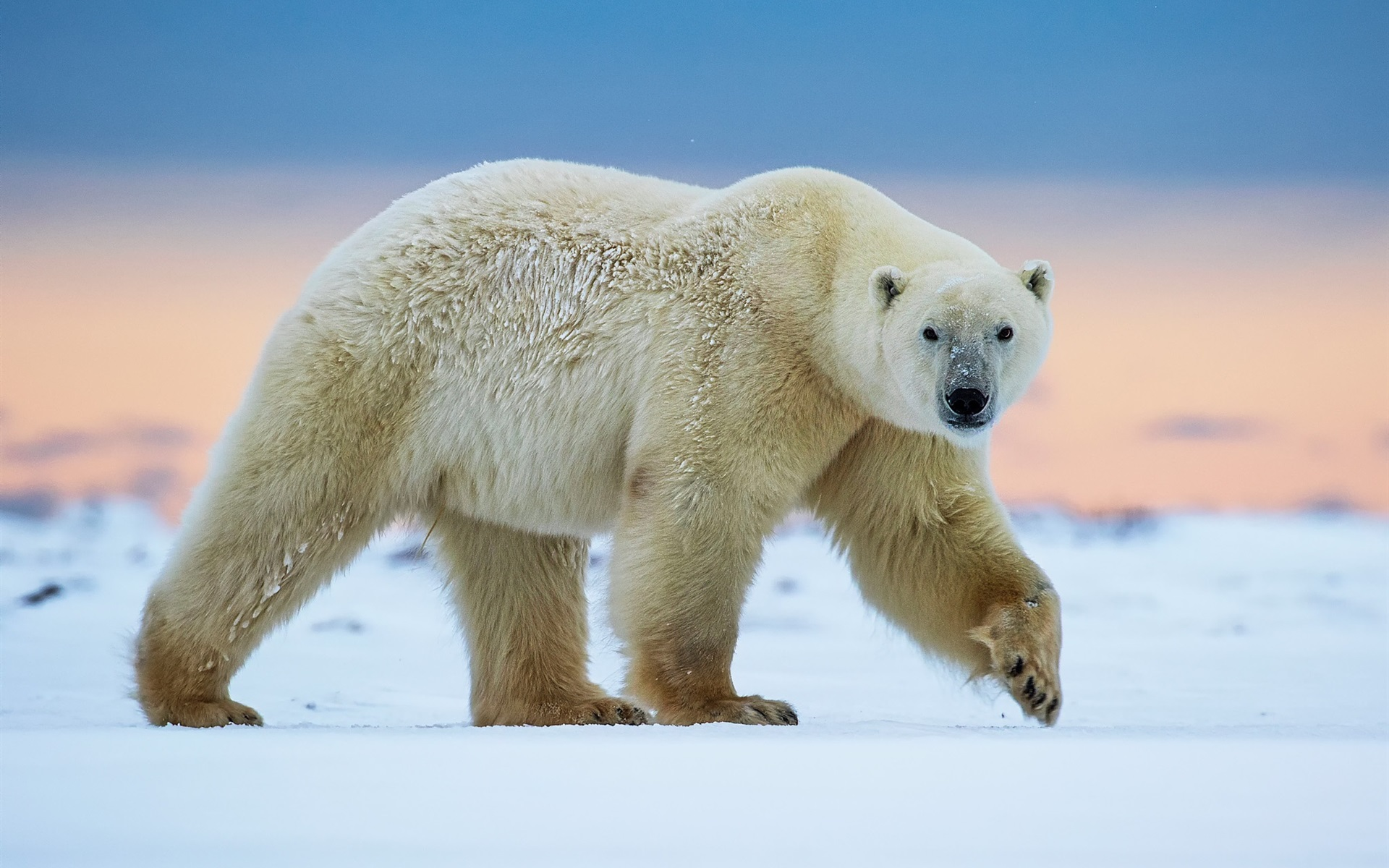 этому фото полярного медведя ахтямова официальный