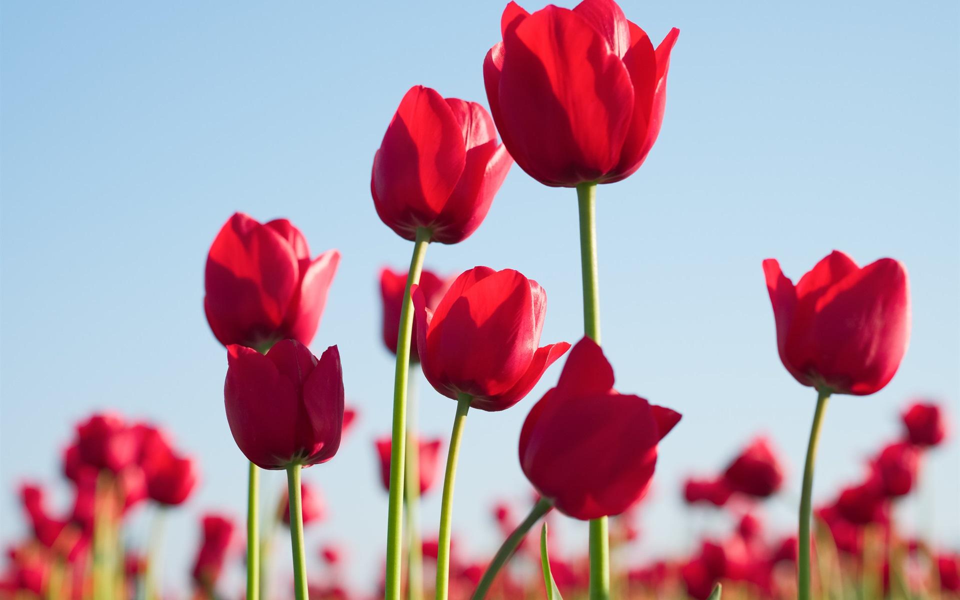 Fondos De Pantalla 1440x900 Tulipas Pascua Fondo De Color: Fondos De Pantalla Tulipanes Rojos, Flores, Cielo