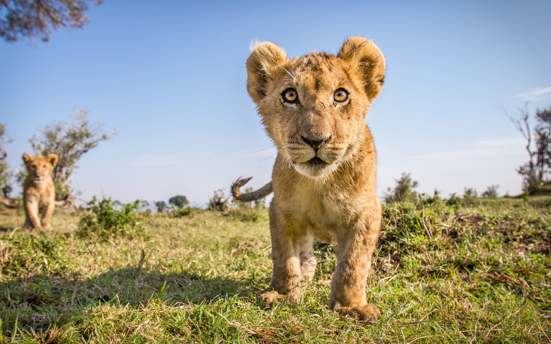 Wallpaper Wildlife Cute Lion Cub Front View 1920x1200 Hd Picture Image