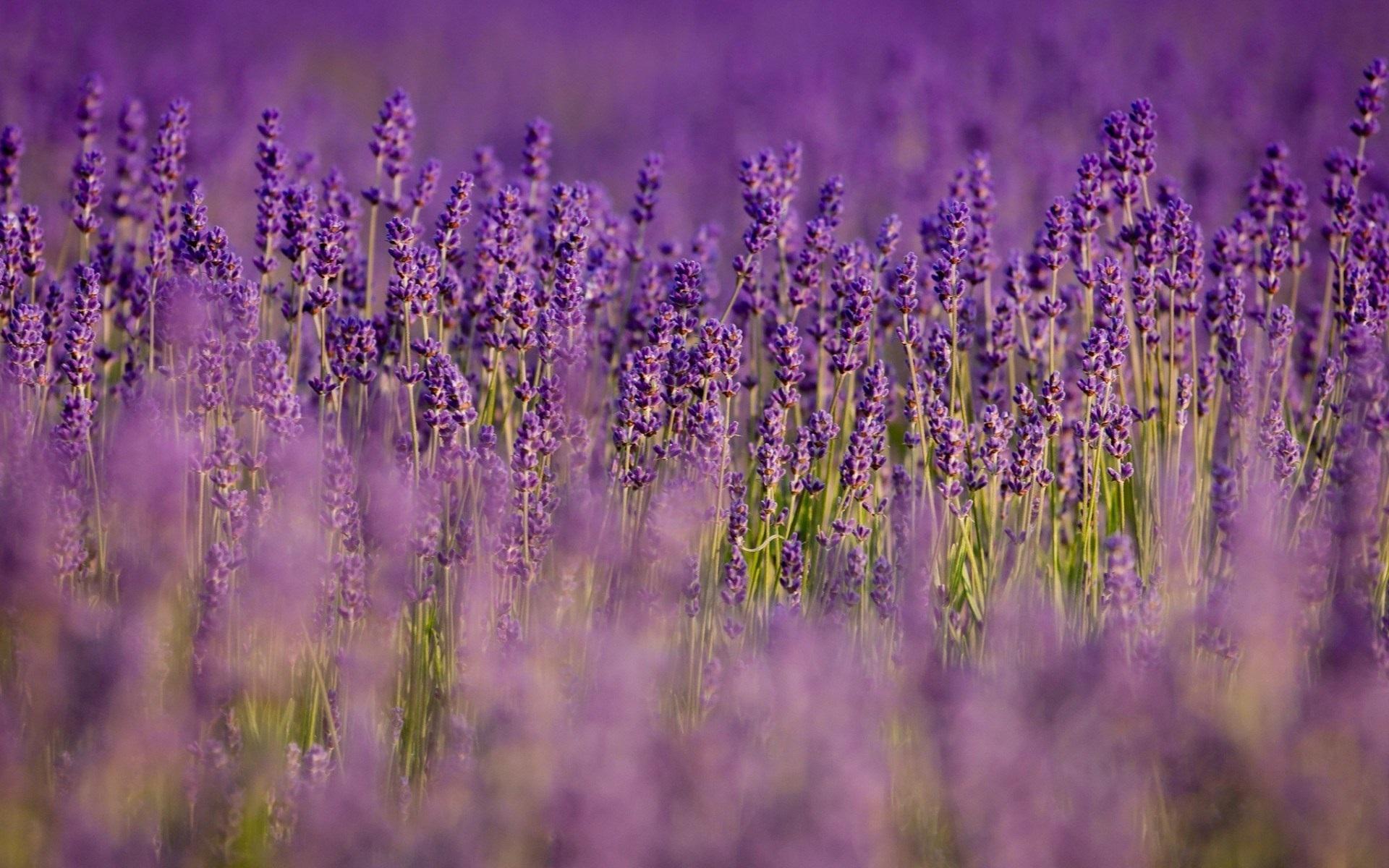 Wallpaper Lavender Purple Flowers Field Blurry 1920x1200 Hd