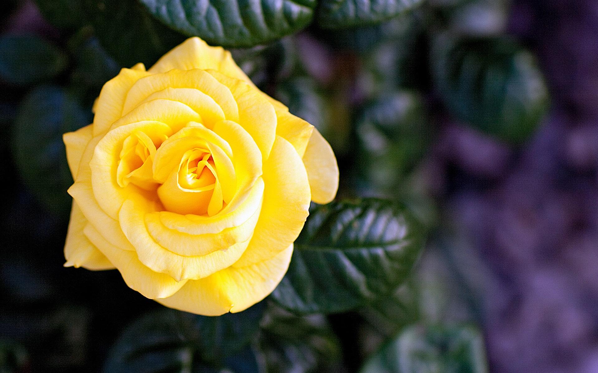 Fonds D Ecran Rose Jaune Fleur Unique 1920x1200 Hd Image