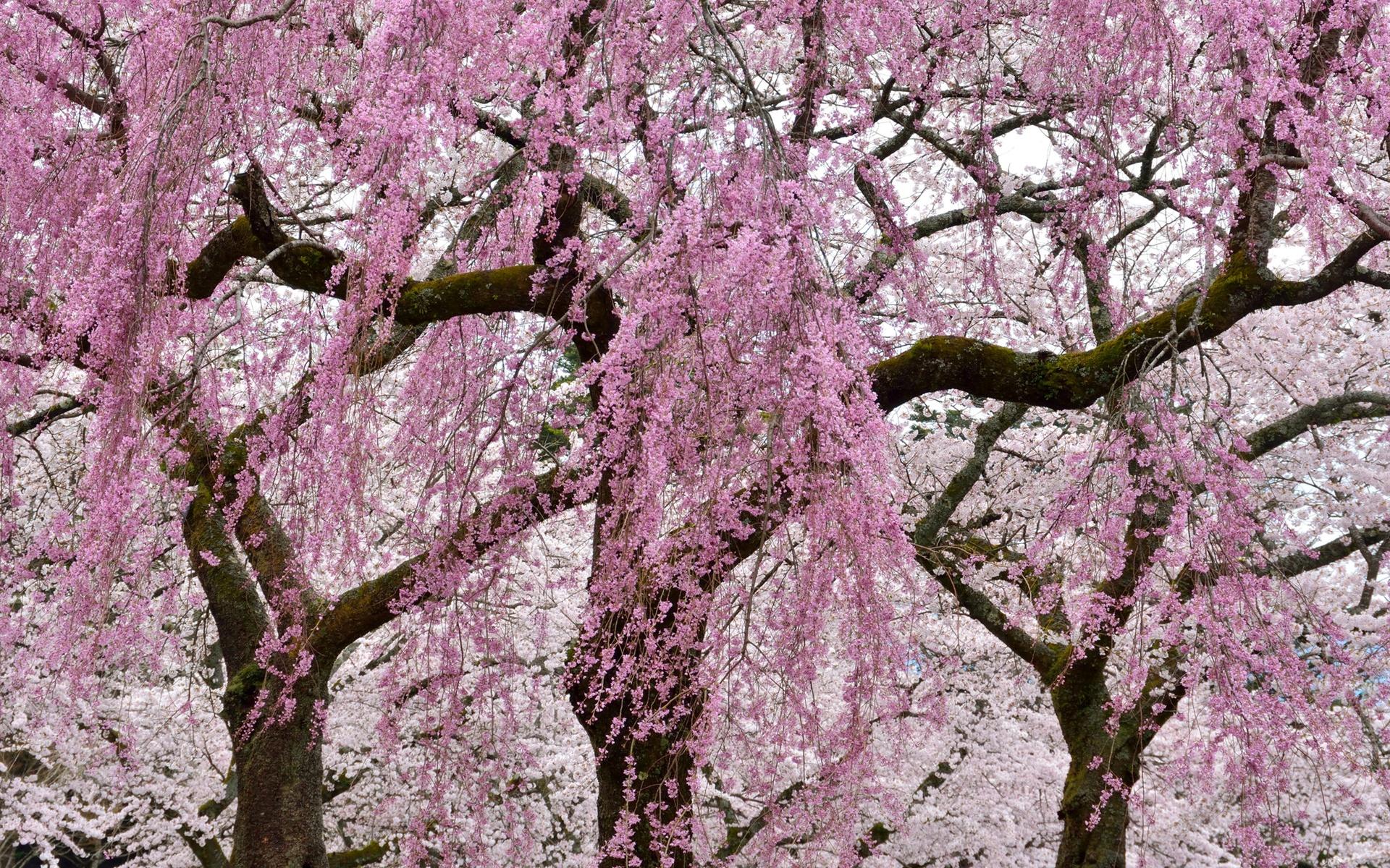 приготовить фото деревьев с розовыми цветами этом случае