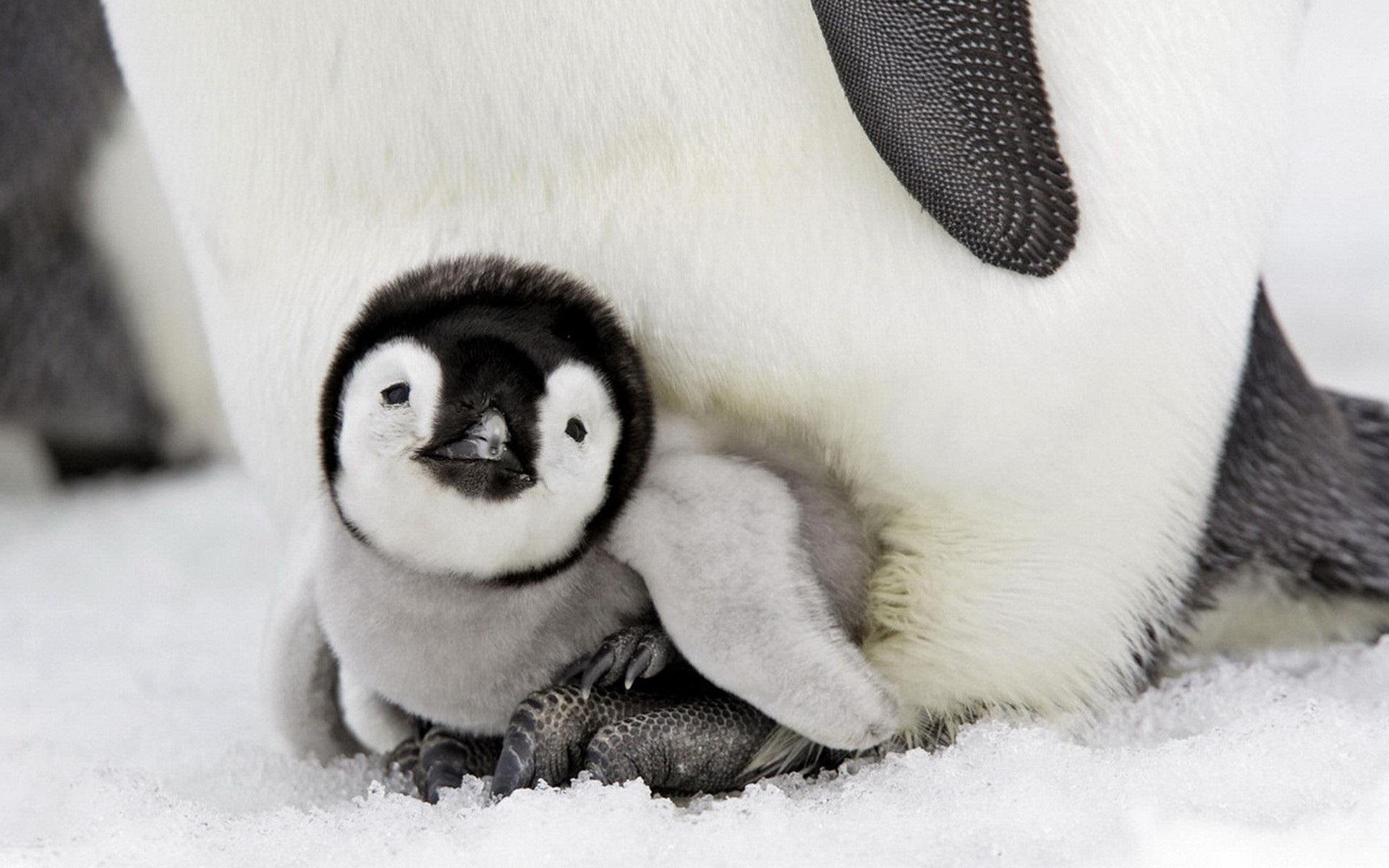 壁紙 ペンギンの赤ちゃん 1920x1200 Hd 無料のデスクトップの背景 画像
