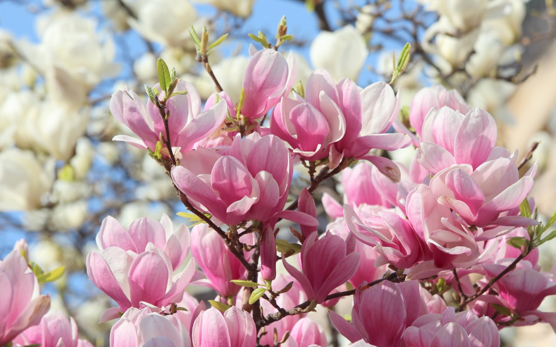 Wallpaper pink magnolia flowers bloom beautiful 1920x1200 hd picture image - Magnolia background ...