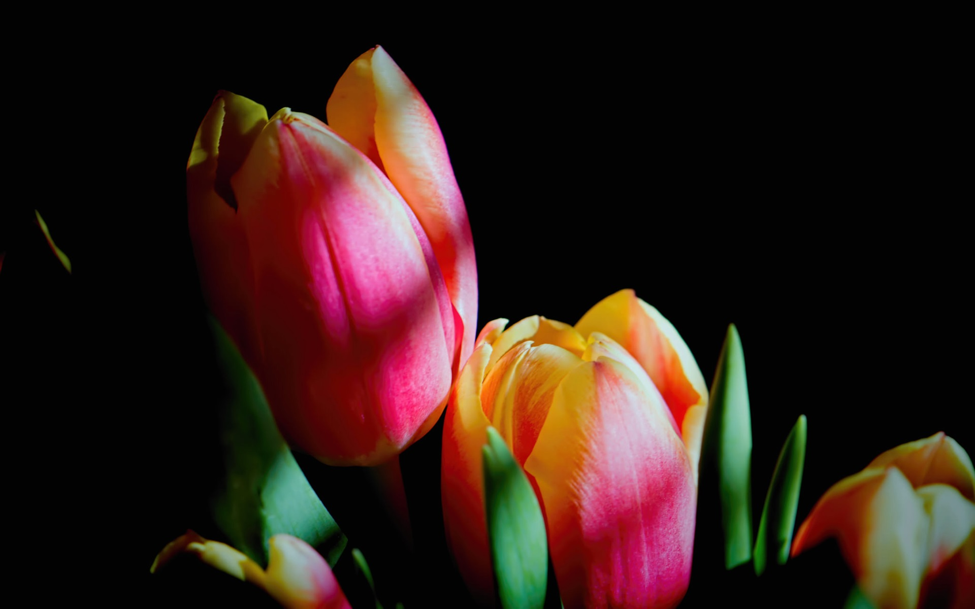 Wallpaper Pink Tulips Flowers Black Background 1920x1200 Hd Picture Image