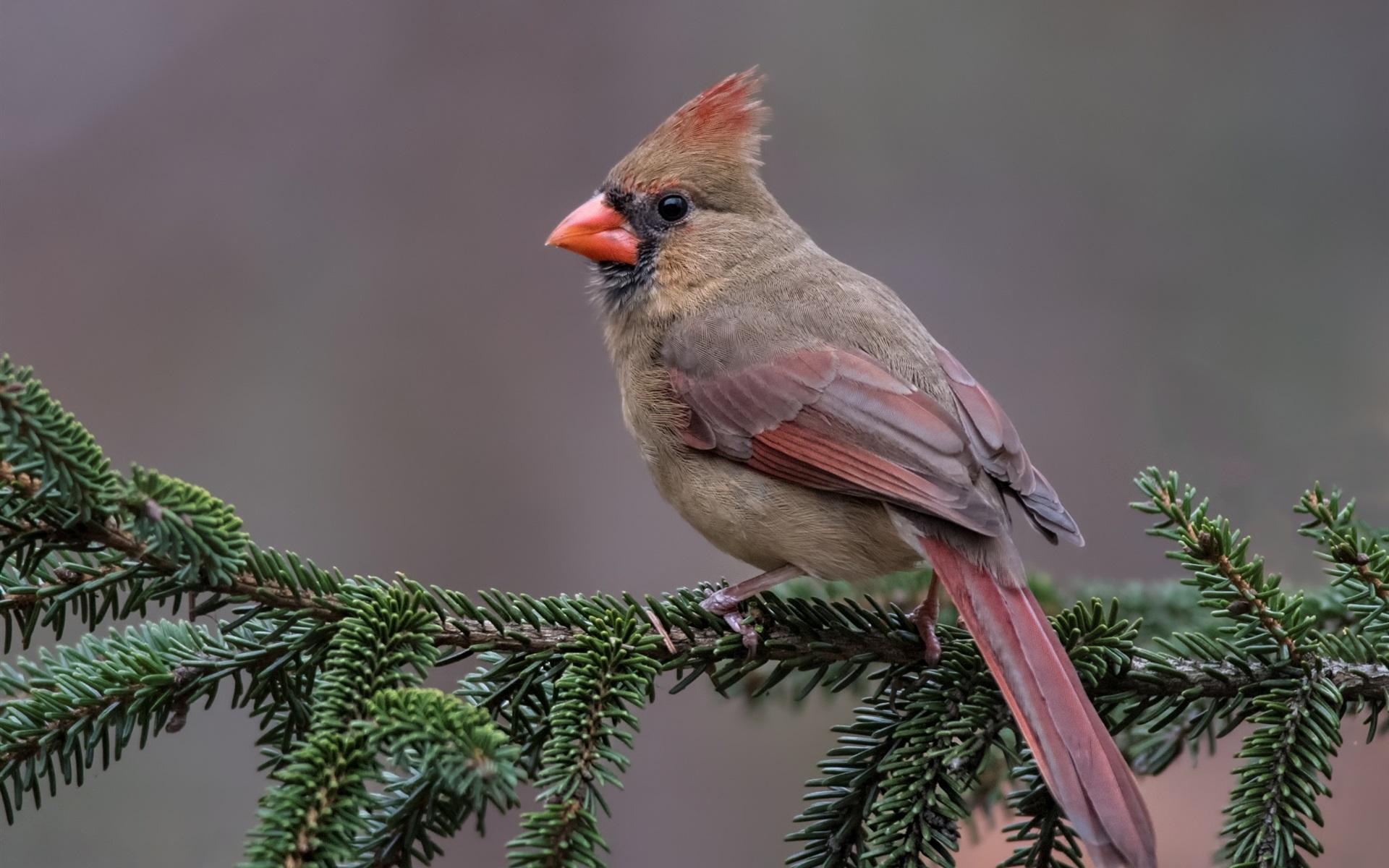 Wallpaper Red Cardinal Bird, Pine Twigs 1920x1200 HD
