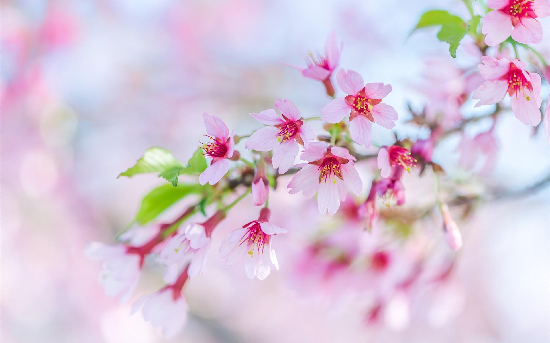 Утро, открытка с цветами сакуры