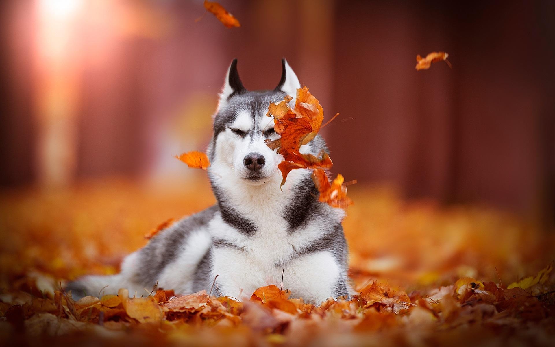 Perros Husky Siberiano Fondos De Pantalla Hd De Animales 2: Fondos De Pantalla Husky Siberiano, Perro, Hojas Rojas