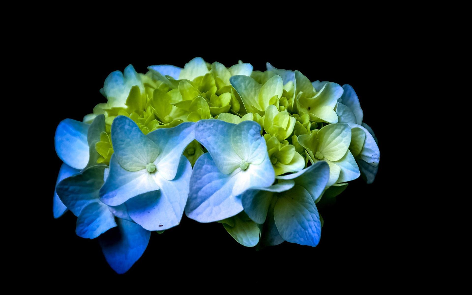 桌布藍色和綠色的紫陽花 黑色的背景1920x1200 Hd 高清桌布 圖片 照片