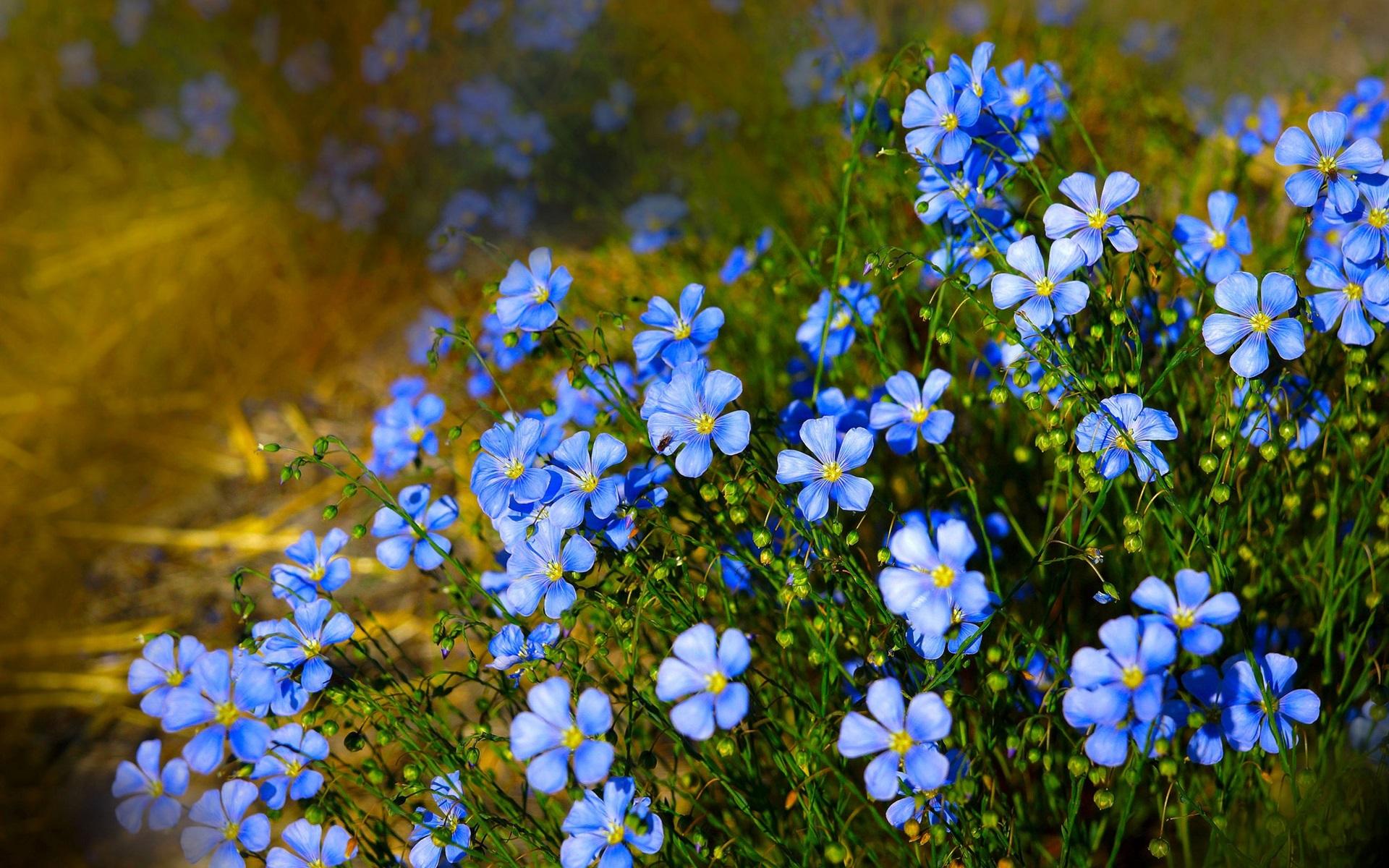 Imagenes De Fondo Flores Para Pantalla Hd 2: Fondos De Pantalla Flores Azules, Flores Silvestres