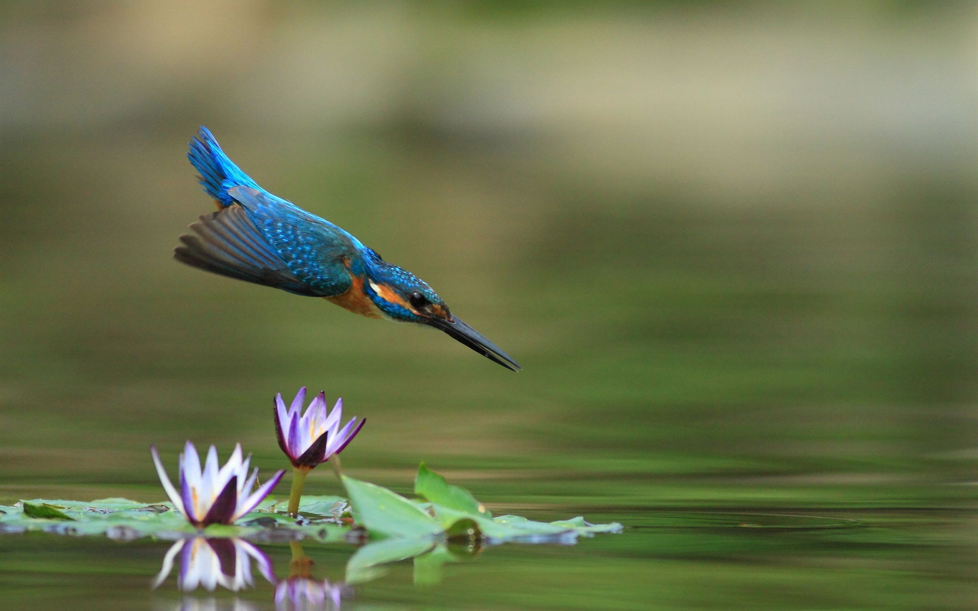 Wallpaper Kingfisher Flight Water Lily Pond 1920x1200 HD Picture