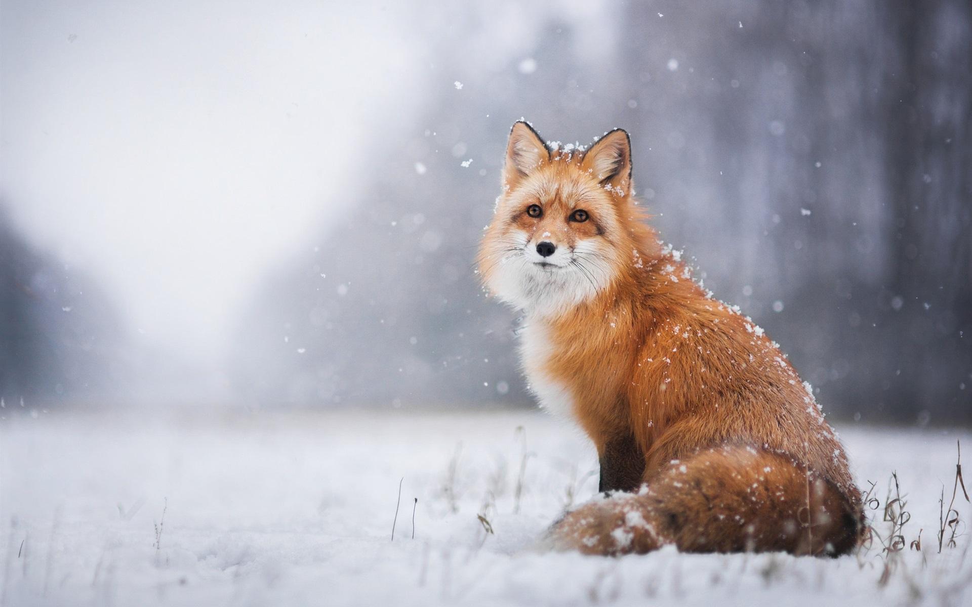 Fonds D'écran Renard Roux Dans L'hiver Neigeux 1920x1200