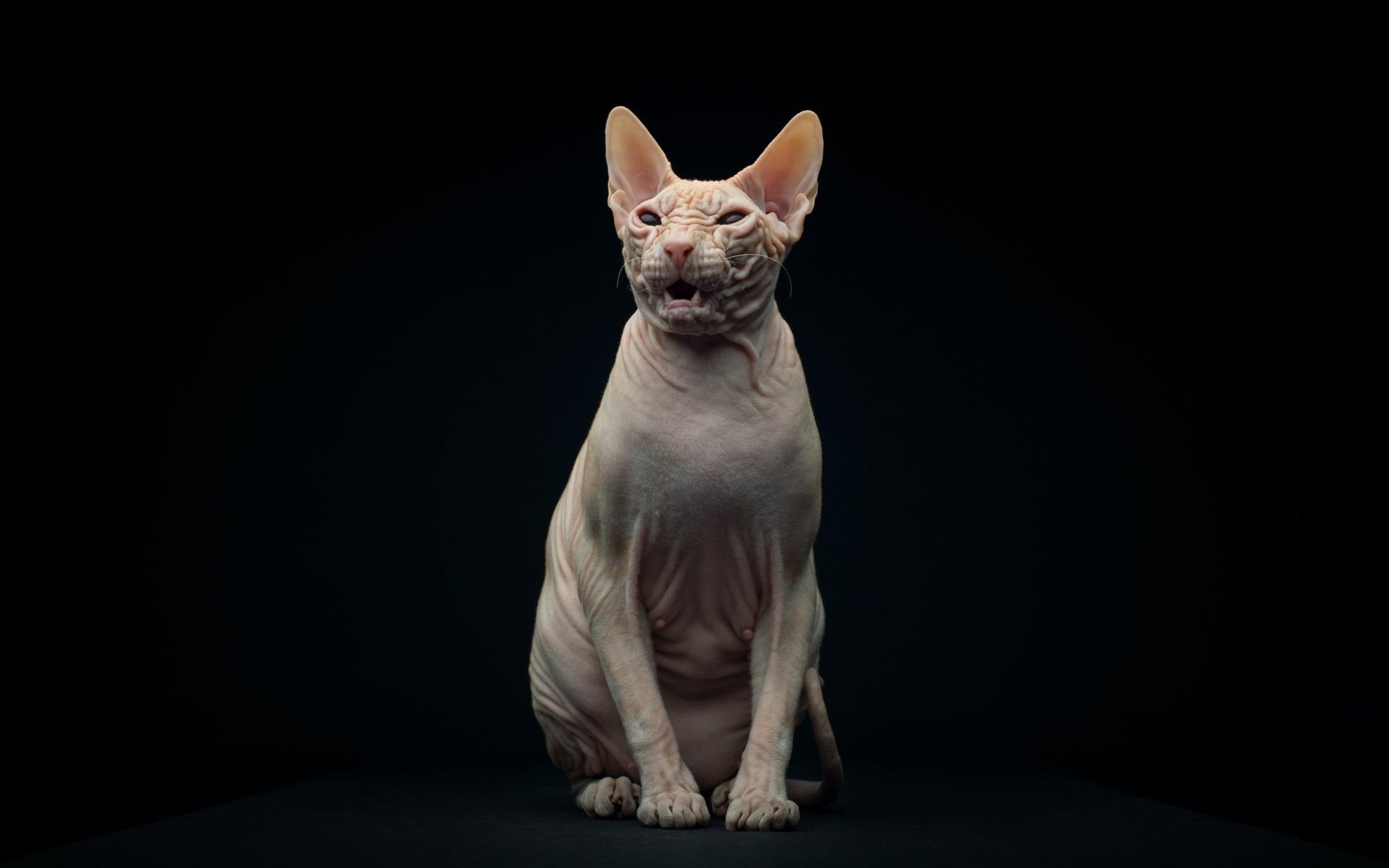 Картинки на рабочий стол кошки сфинкс