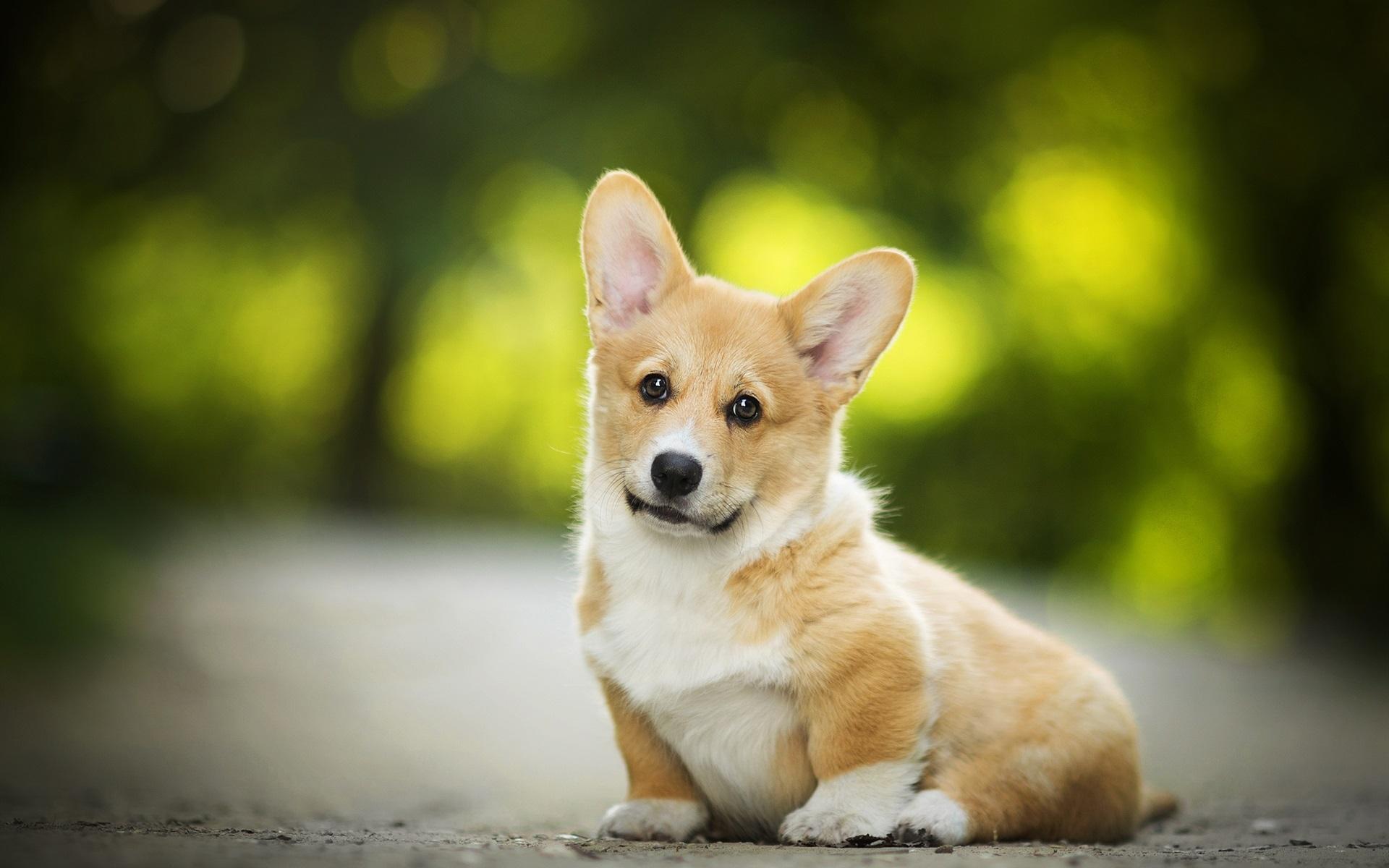 壁紙 ウェールズコーギー かわいい犬 19x10 Hd 無料のデスクトップの背景 画像