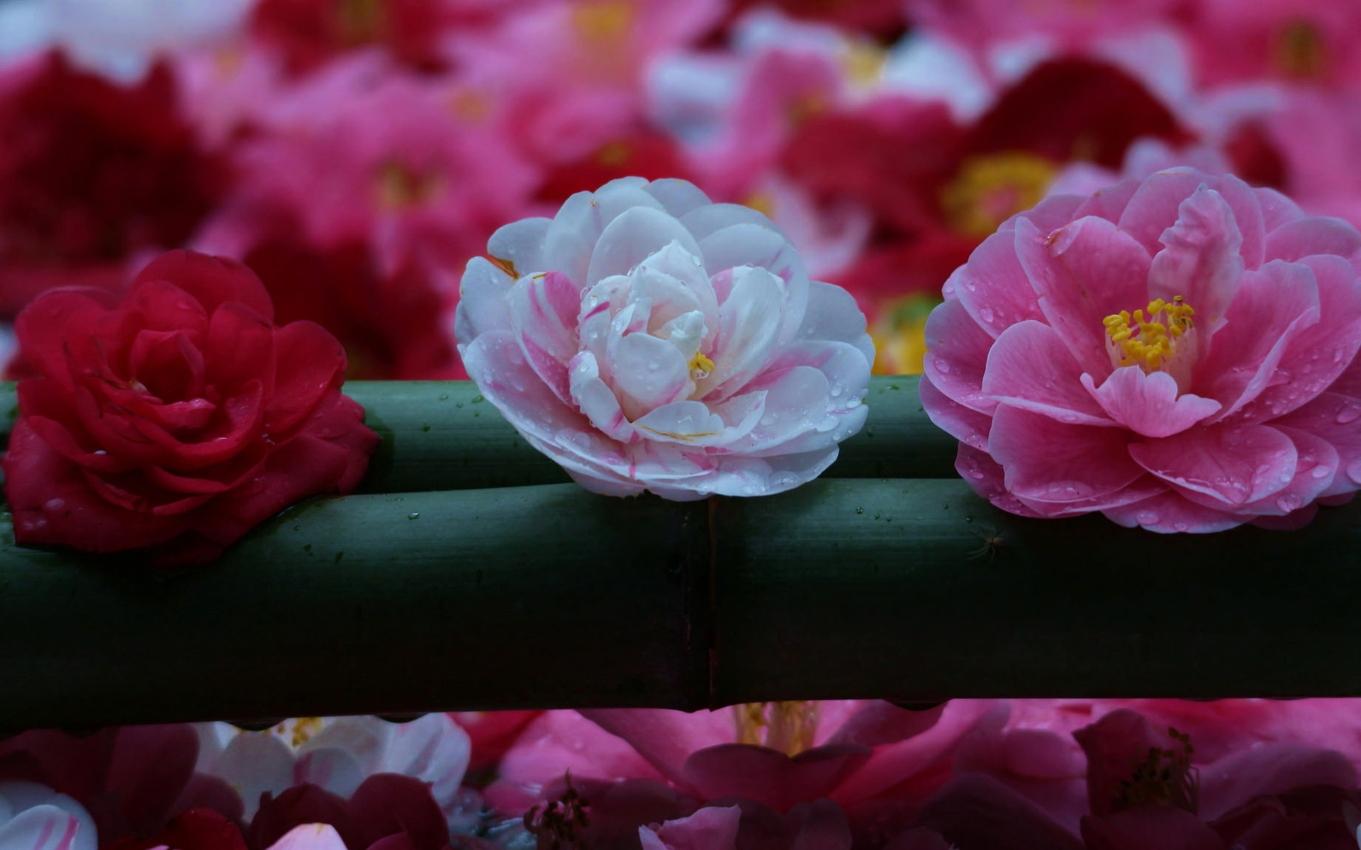 Wallpaper camellia trio white pink red flowers 1920x1200 hd download this wallpaper mightylinksfo