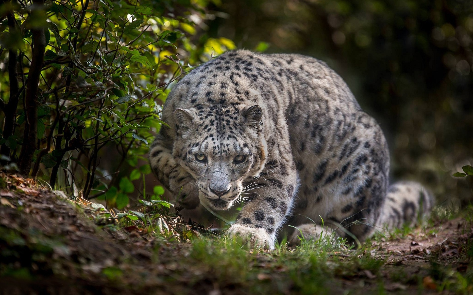 Wallpaper Snow Leopard Look Grass 1920x1200 Hd Picture Image