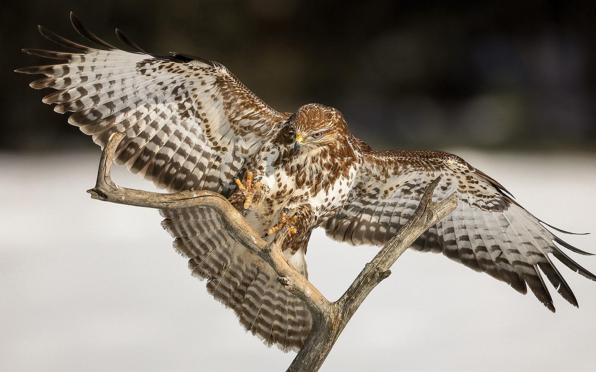papéis de parede pássaro falcão asas galhos 1920x1200 hd imagem