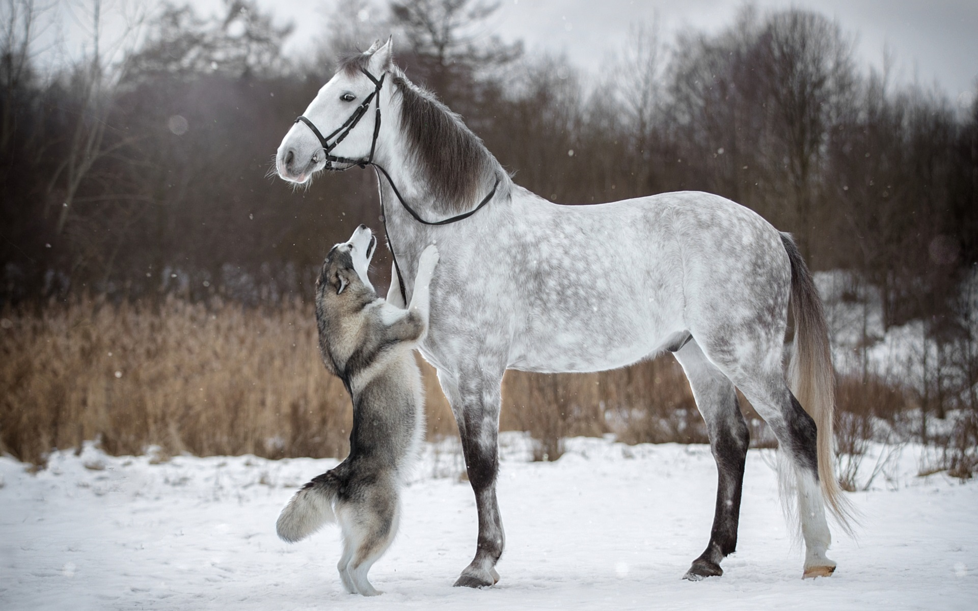 Wallpaper Husky Dog And White Horse Friendship Snow