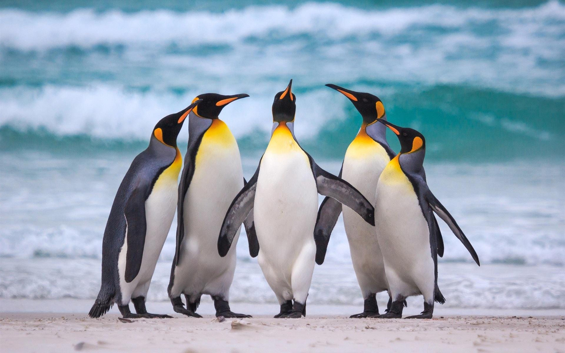 для королевские пингвины фото увлекательный