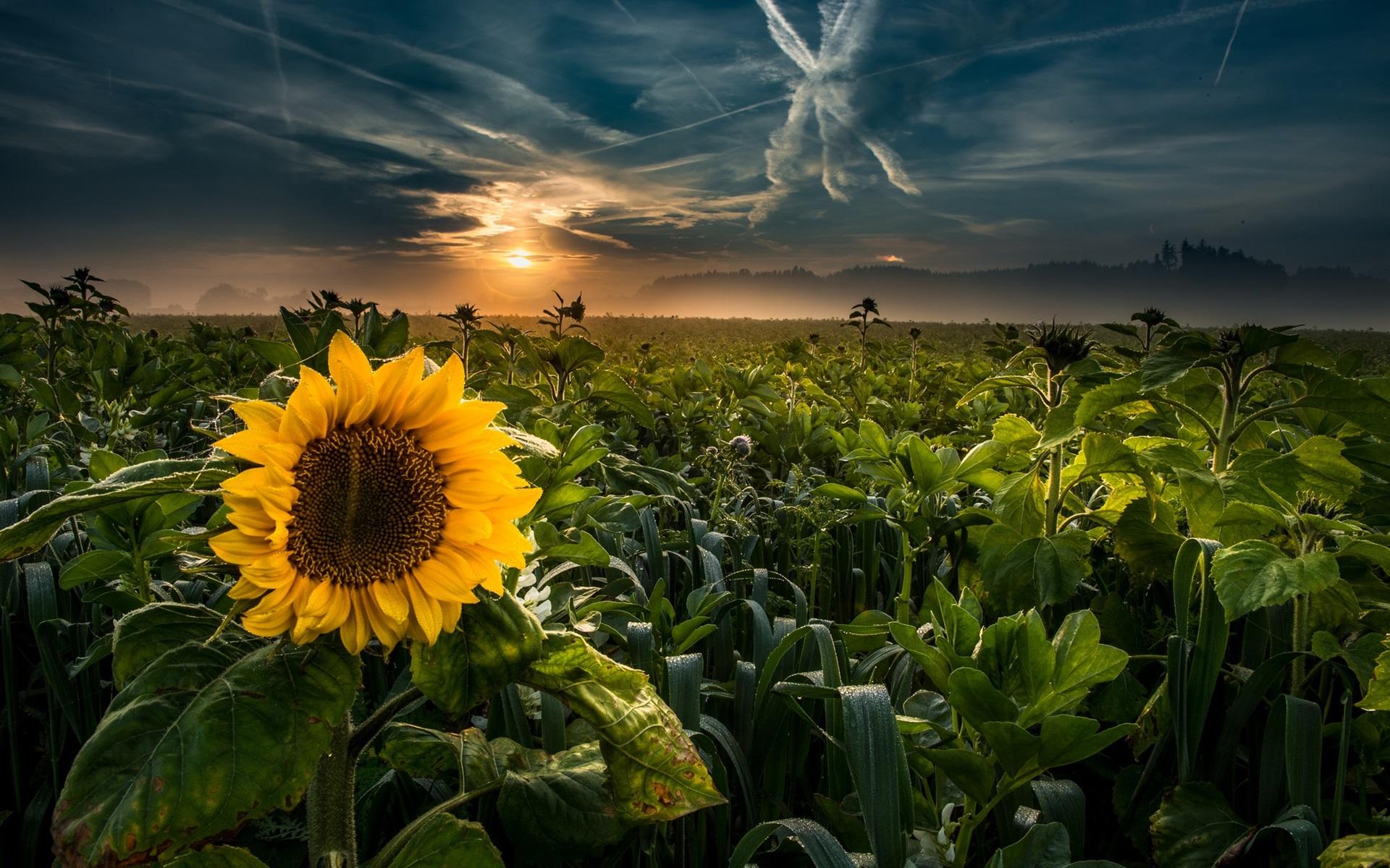 Wallpaper Sunflowers, fields, sunset, clouds 1920x1200 HD ...
