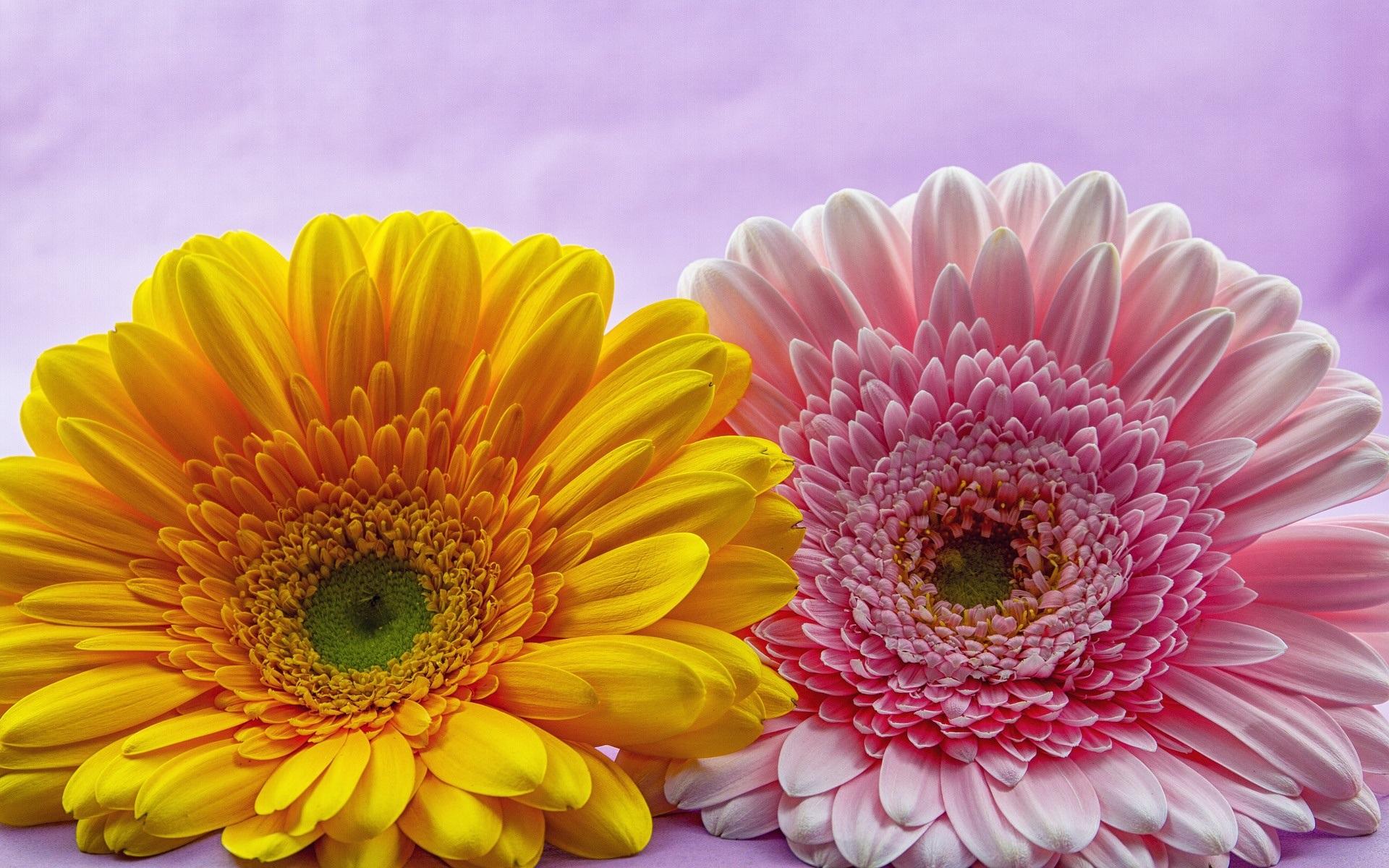 壁紙 ピンクと黄色のガーベラの花 1920x1200 Hd 無料のデスクトップの