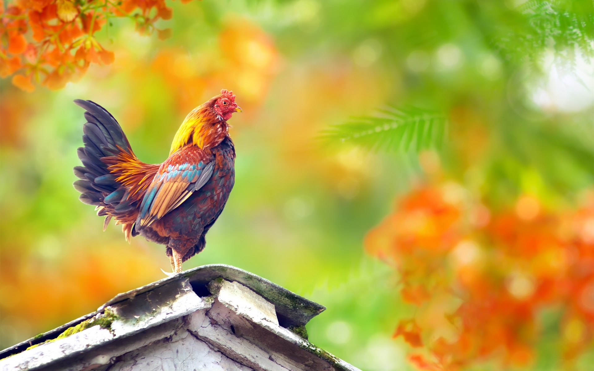 Wallpaper cock standing on roof 1920x1200 hd picture image - Dick wallpaper ...