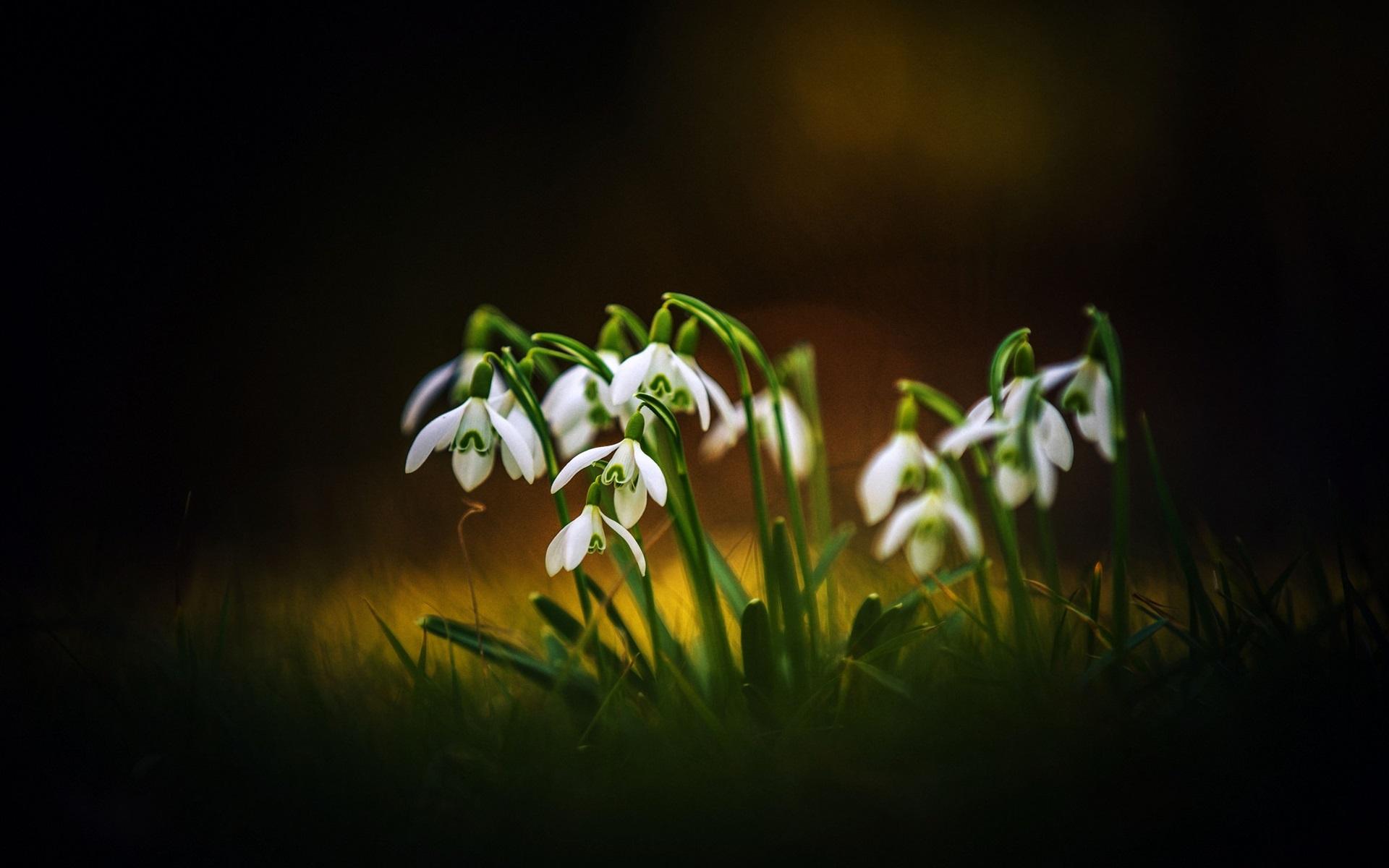 壁纸春天的花朵 雪花莲 散景1920x1200 Hd 高清壁纸 图片 照片