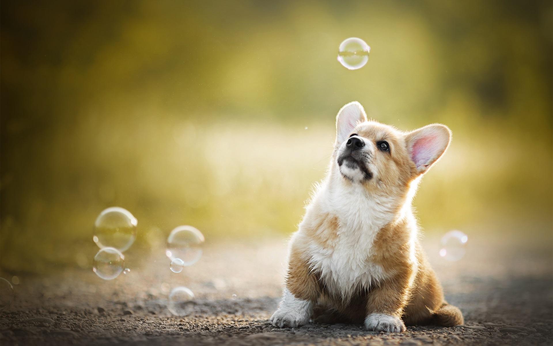 ウェールズコーギー 犬の遊びの泡 640x1136 Iphone 5 5s 5c Se 壁紙 背景 画像