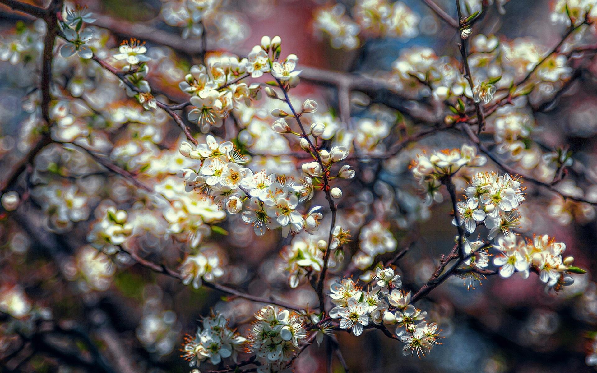 Wallpaper White Plum Flowers Bloom Tree Spring 1920x1200 Hd
