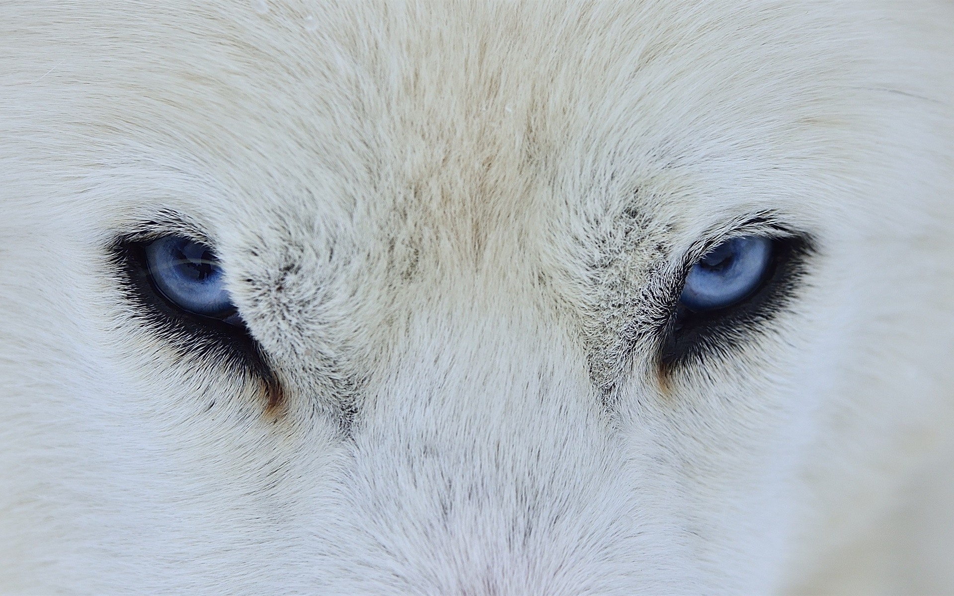 Wallpaper White Wolf Blue Eyes Front View 1920x1200 Hd Picture Image
