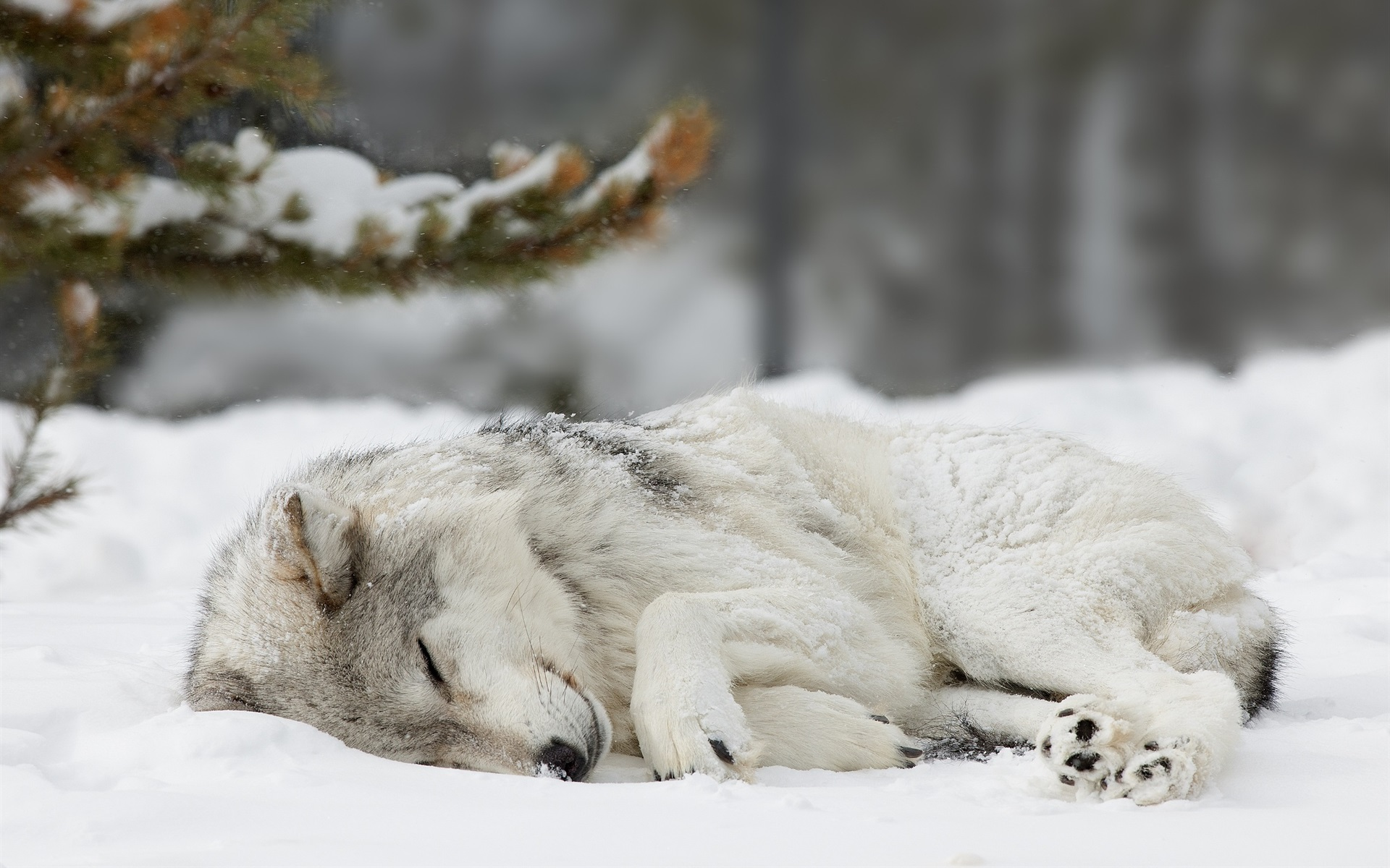 картинки где спят волки дрочит член перед