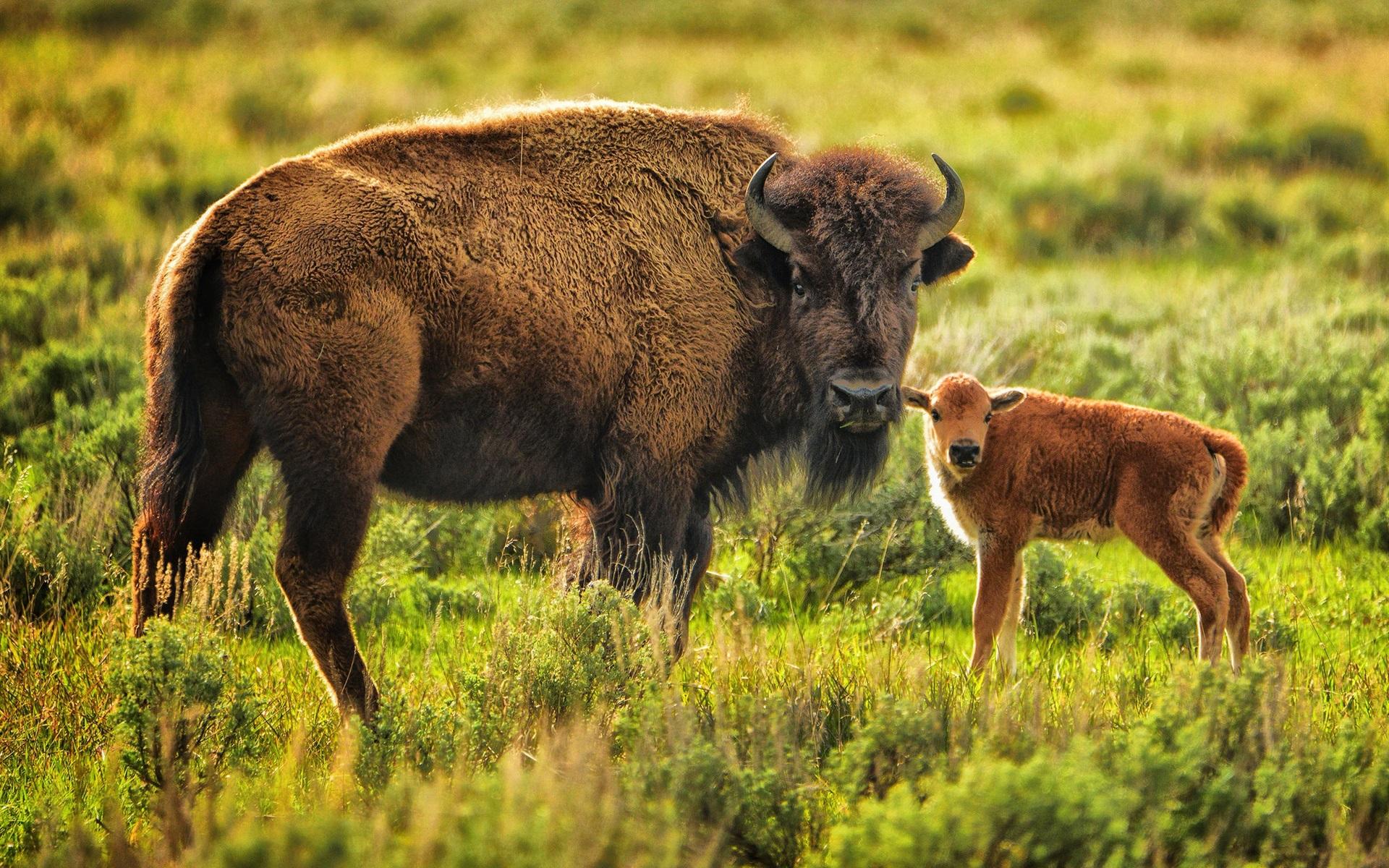 Fondos De Pantalla De Animales Bebes: Fondos De Pantalla Animal, Búfalo, Mamá Y Bebé