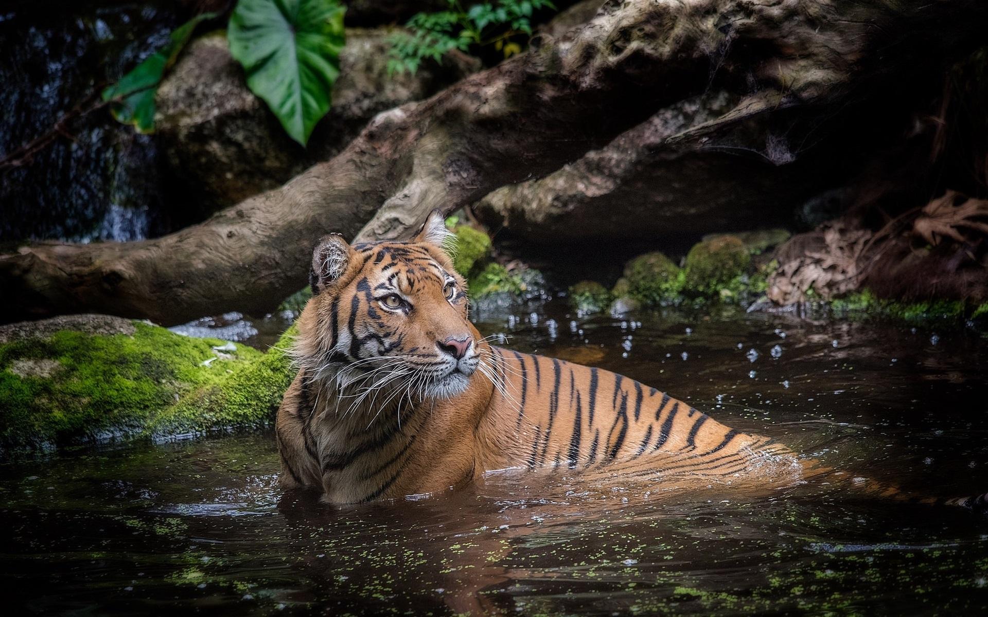 картинка тигры купаются рендеры художники накануне