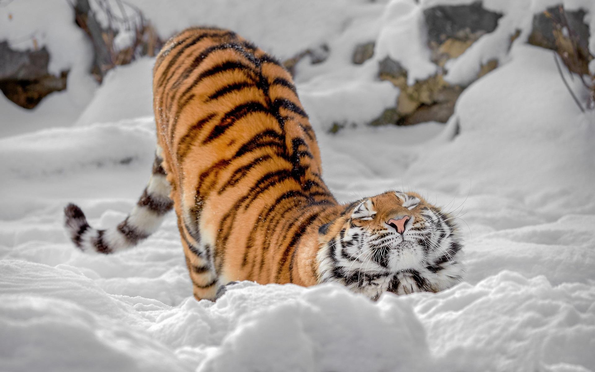 тигр фото добрый клиентов, услугами которых