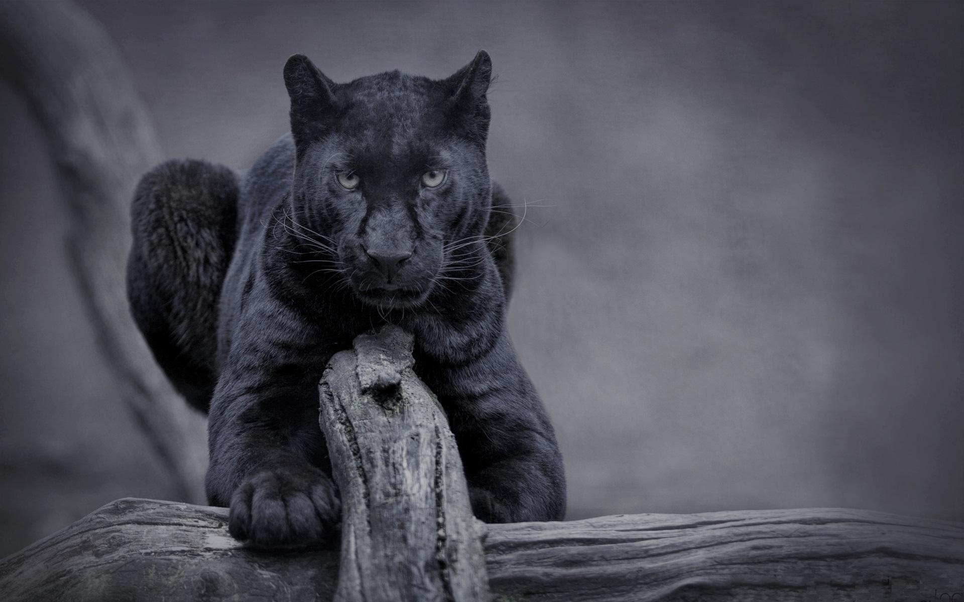 Black Panther Animal Wallpapers: Fondos De Pantalla Pantera Negra, Vida Silvestre, Vista